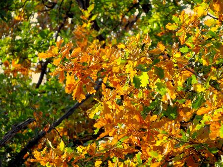 Oak branch with orange and green leaves in the forest in autumn