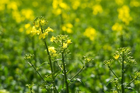 Rapeseed (Brassica napus) is a crop grown for oilseeds, used mainly to produce oil.
