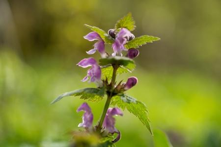 Lamium maculatum is a perennial herb. Reklamní fotografie