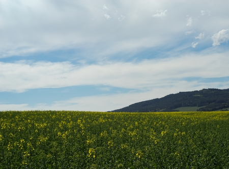 Rapeseed (Brassica napus) is a crop grown for oilseeds, used mainly to produce oil. 写真素材