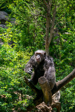 Chimpanzee in the wood photo