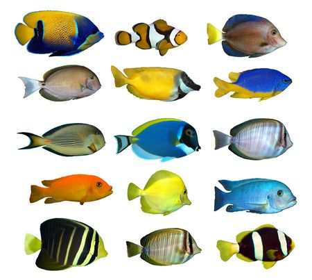exotic fish: tropical reef fish
