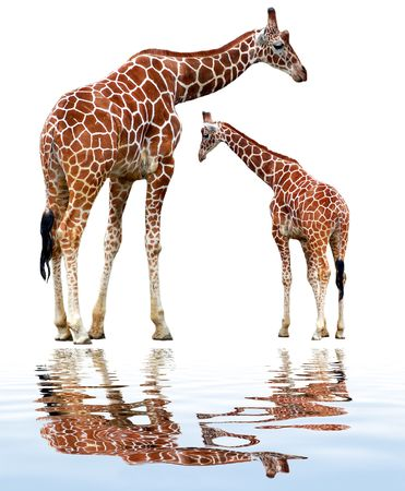 youngly: two giraffes isolated