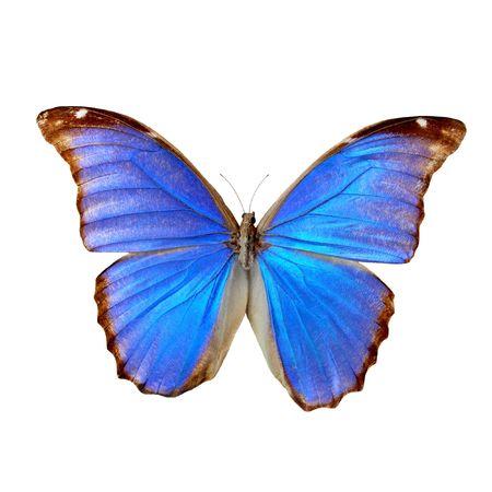 morpho menelaus: Morpho azul