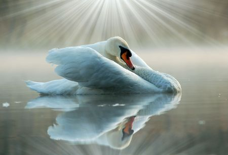 Swan Stock Photo - 6523185
