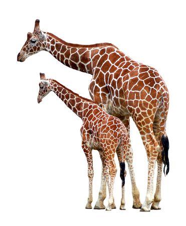 jirafa cute: dos jirafas aislados