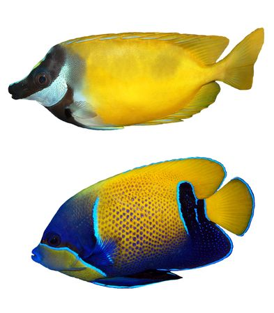 tropical reef fish Stock Photo - 7247376