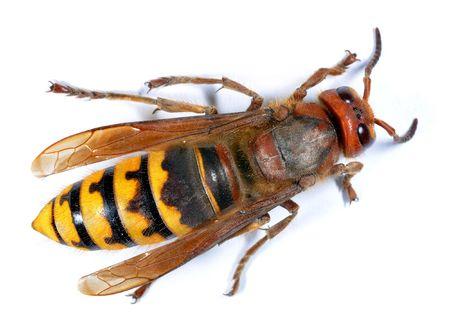 wasp: European Hornet (Vespa crabro) on white background  Stock Photo