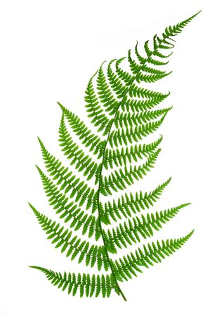 foliage frond: Fern isolated on white background
