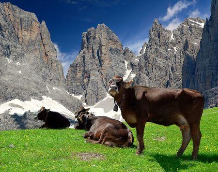mountainy: cow pasture behind the mountain Brenta- Dolomites Italy