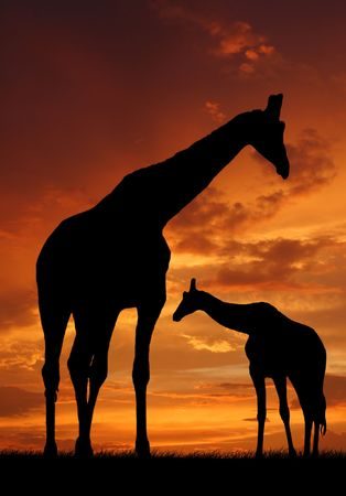 Two giraffes over sunrise  photo