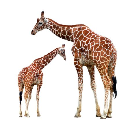 two giraffes isolated