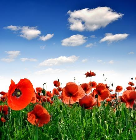 field of corn poppy flowers: Red poppy