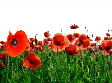 red poppy isolated  photo