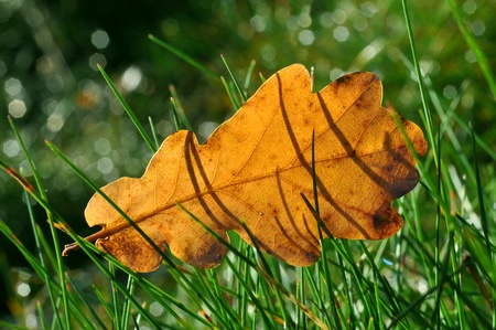 Moisture on dropped leaf lying in grass  photo