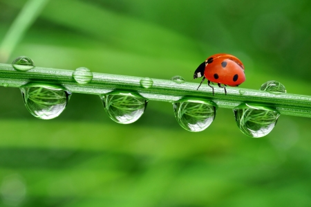insect leaf: fresh morning dew and ladybird