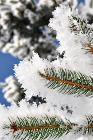 wintrily: frosty tree branch in winter  Stock Photo
