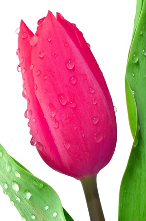 dewy tulip photo