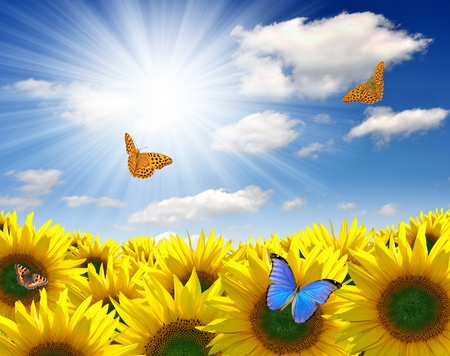 Summer sun over the sunflower field  with butterfly