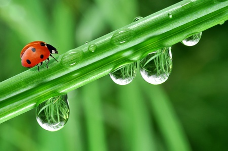 fresh morning dew and ladybird Stock Photo - 8927953