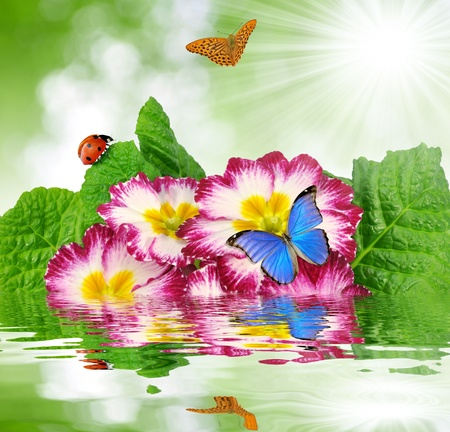 morpho: primrose with butterfly and ladybug Stock Photo