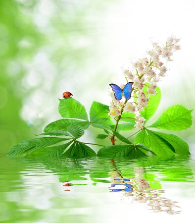 chestnut flower with butterfly  photo