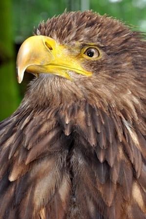 sea eagle Stock Photo - 9133180