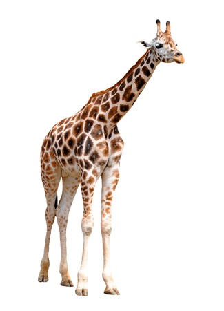 giraffes isolated  Stock Photo - 9133158