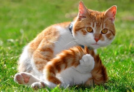 veterinaria: gato de jóvenes en la hierba