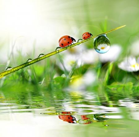 dews: fresh morning dew and ladybird