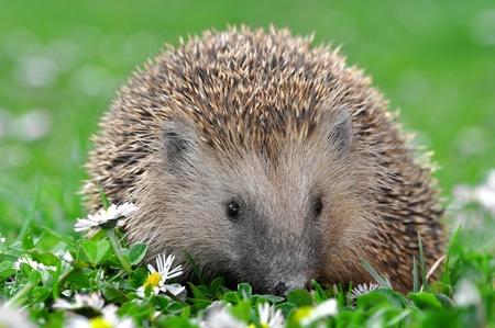 earthworms: hedgehog Stock Photo