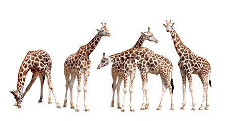 jirafa cute: jirafas aisladas