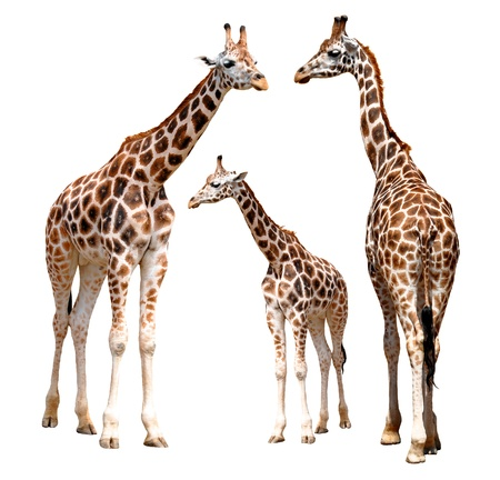 girafe: giraffes isolated