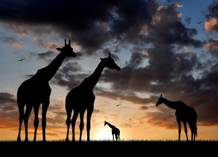 africa sunset: herd of giraffes in the setting sun