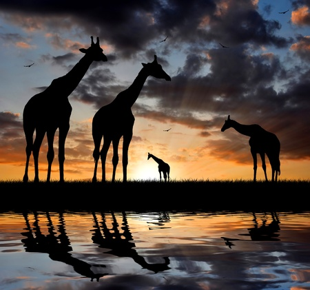 mirror image: Two giraffe over sunrise  Stock Photo