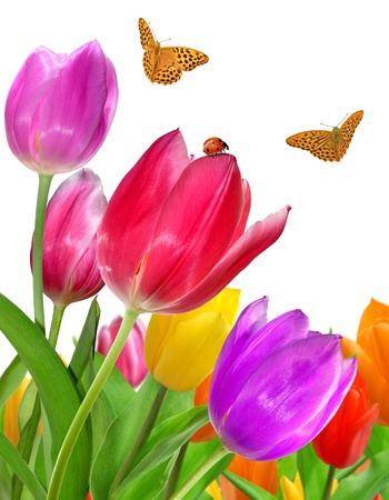beautiful red tulips close up: tulips with butterfly  Stock Photo
