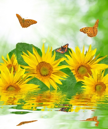 campo di girasole con farfalla Archivio Fotografico - 10284373