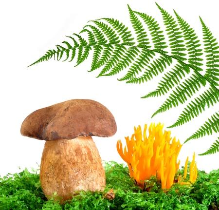 brushwood: mushrooms Tylopilus felleus and Ramaria Formosa  Stock Photo