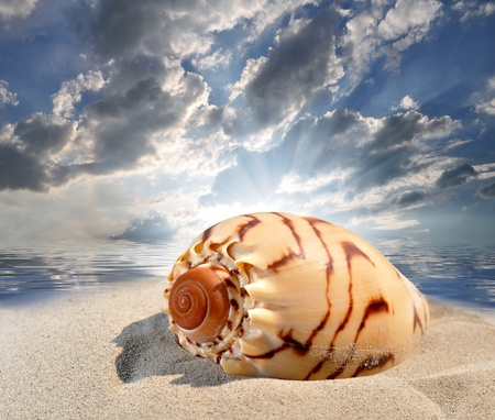 Conch shell on beach  photo
