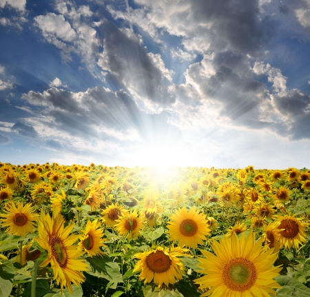 agribusiness: setting sun over the sunflower field  Stock Photo