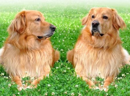 dog days: Hovawart - perro criado de la custodia de las casas