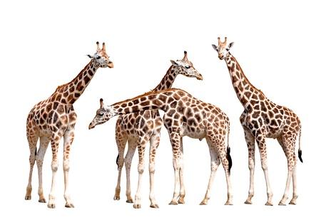 giraffes isolated  photo
