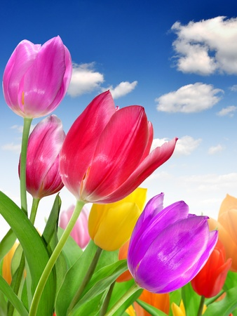 colorful flowers: Tulip  Stock Photo