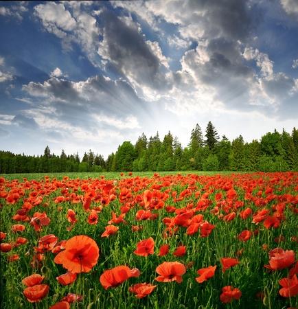poppy field: Lente landschap met rode papaver Stockfoto