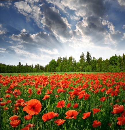 poppy field: Spring landscape with red poppy