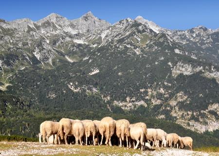 herd  sheeps in Julian Alps - Slovenia, Europe  photo
