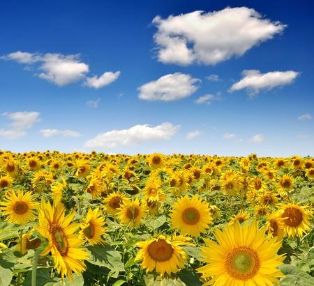 Zomer zon over het zonnebloem veld