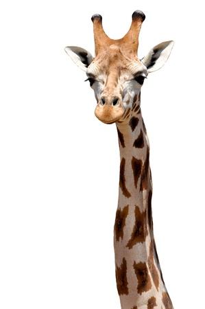 Giraffe isoliert Standard-Bild