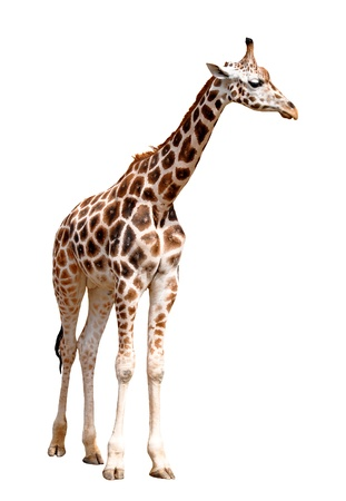 girafe: giraffe isolated  Stock Photo