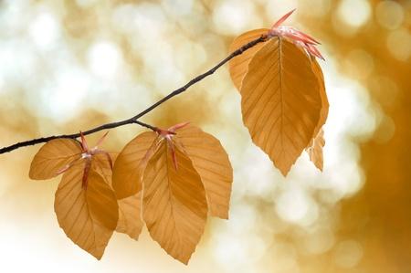 beech leaf: Autumn leaves